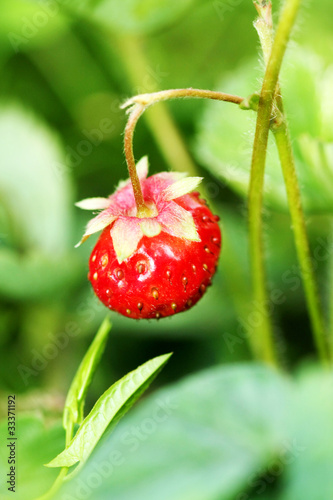 Bush of strawberry