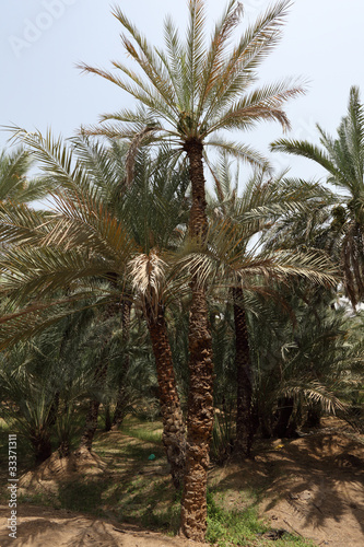 Date Palm Trees in the Oasis of Al Ain