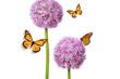 Allium Flower of Nature
