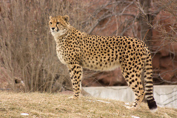 Cheetah watching for prey