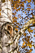 Birch tree in autumn - knot, knag