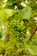 Wine grapes at early summer