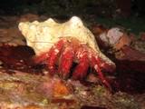 Hairy Red Hermit Crab - Dardanus lagopodes poster