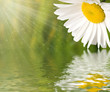 Chamomile flower reflected in water