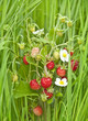 wild strawberry in grass