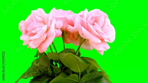 Rose in Greenscreen