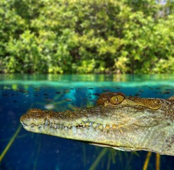 Crocodile cayman swimming in mangrove swamp