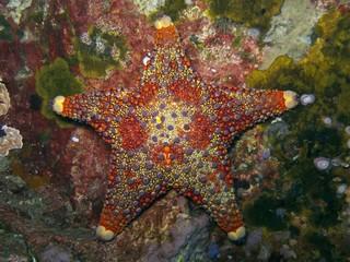 Firebrick Starfish - Asterodiscides truncatus