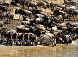 zebra and wildebeest migration, Masai Mara Game Reserve, Kenya poster