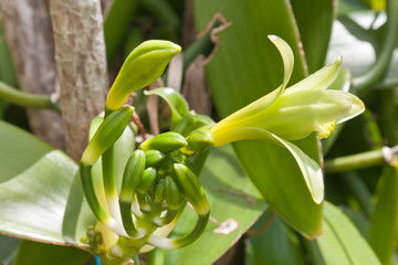 fleur vanille