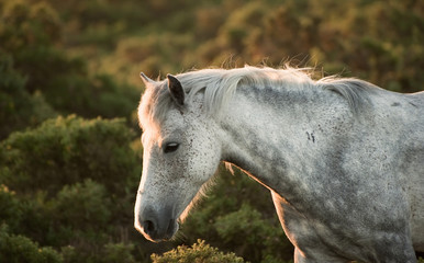 Beautiful close up of New Forest pony horse bathed in fresh daw