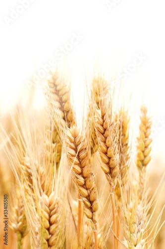 Wheat - 33405580