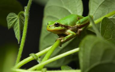 European tree frog sitting on leaf