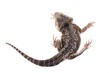 Reptilie Agame Rückenansicht
