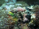 Crab, Hermit - Dardanus pedunctulatus poster