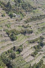 Terassenanbau in der Cinque Terre