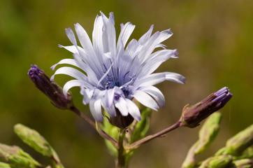 fleur de la chaine des puys