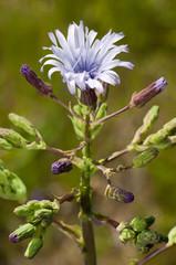 fleur des montagnes d'Auvergne