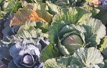 variedades de col
