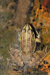 Rana común, pelophylax perezi