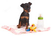 Miniature Doberman Toy Pinsher Puppy Dog
