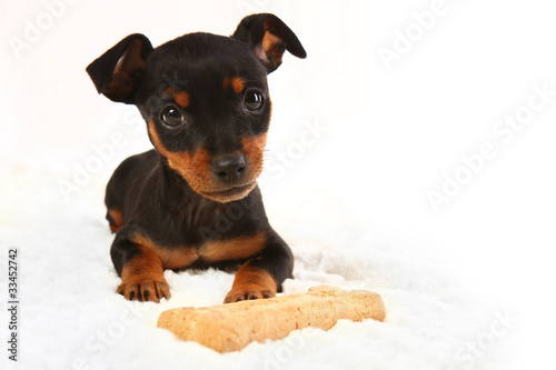 Miniature Doberman Toy Pinsher Puppy Dog