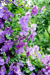 Big shrub with blue flowers of clematis