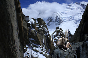 ibex alps montblanc cliff  nature