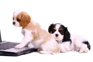 zwei Welpen am Laptop