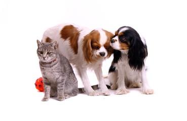 junge Katze und zwei Hunde
