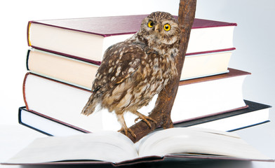 Eule beim Lernen