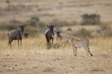 Cheetah with Wildebeests