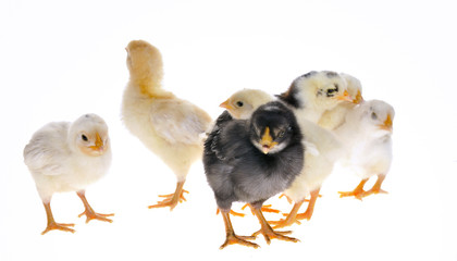 Pollitos sobre fondo blanco.