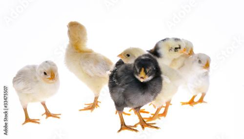 pollito blanco aficionado libre