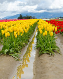 Garden of tulips at Skagit, Washington State, America.