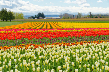 Field of tulips at Skagit, Washington State, America.
