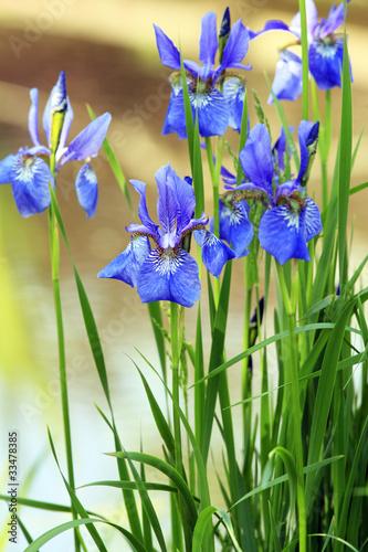 Blue irises on shore