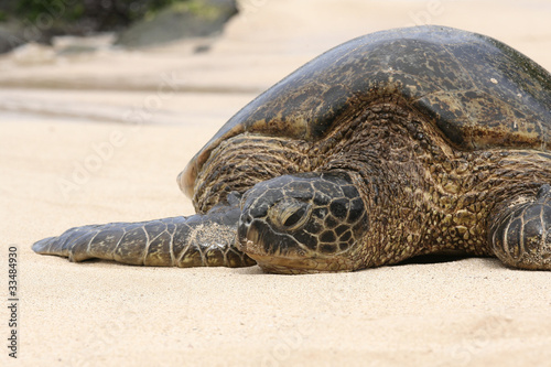 Hawaiian green turtles