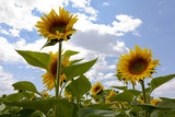 Beautiful sunflowers standing proud against a summers sky