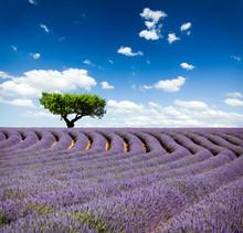 Lavande Provence Frankrike / lavendel fält i Provence, Frankrike