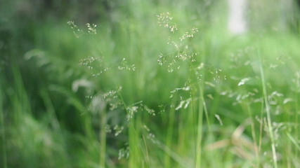 Grass on the wind