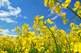 Yellow rape canola flowers