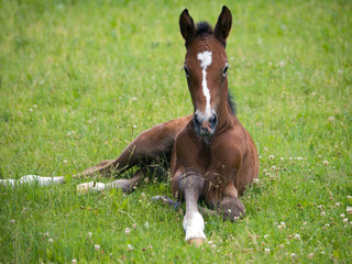 One day old lying on pasture