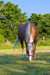 Palomino grazing in pasture