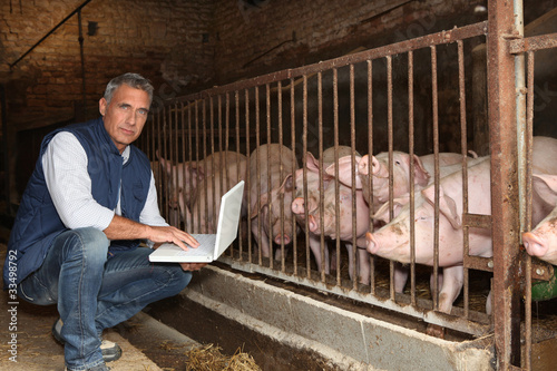 Man with pigs and a laptop