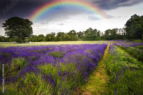 Dark storm clouds over vibrant lavender field landscape with bea
