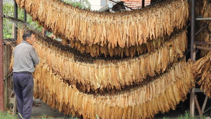 Farmer drying tobacco