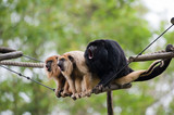 Fototapety howler monkeys
