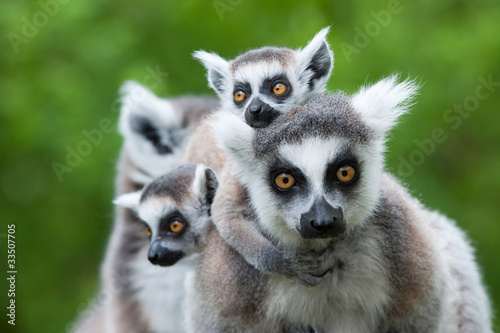 Foto op Canvas Aap ring-tailed lemur with her cute babies