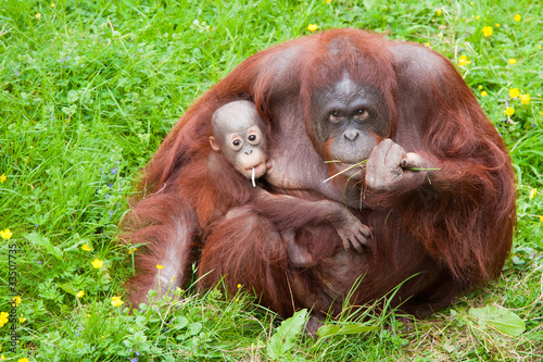 orangutan with her cute baby